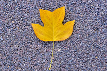Single Yellow Leaf On Gravel B...
