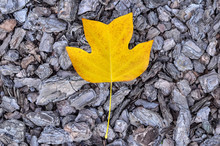 Single Yellow Leaf On Natural ...
