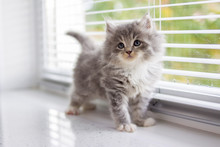 Grey Persian Little Fluffy Maine Coon Kitten Stands Near Door Window And Looking Up . Newborn Kitten, Kid Animals And Adorable Cats Concept.