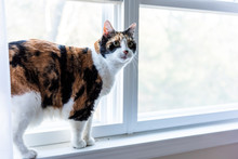 One Cute, Female Calico Cat Closeup Of Face Standing On Windowsill Window Sill, Looking Staring Near Curtains, Blinds Outside In Room