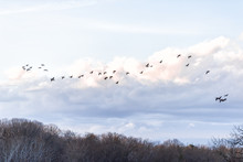 Flock, Group Of Canada Geese, Goose, Ducks Flying Above Bare, Dry Forest In Winter During Sunset, Sunrise With Clouds Near Lake Fairfax, Virginia