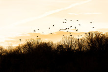 Silhouettes, Silhouette Of Flock, Group Of Canada Geese, Goose, Ducks Flying Above Bare, Dry Forest In Winter During Sunset, Sunrise With Clouds Near Lake Fairfax, Virginia