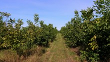 Farm, Fields Of Walnut Plantat...