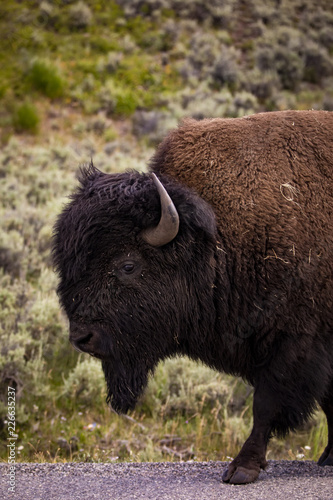 Bison in Yellowstone National Park's Lamar Valley