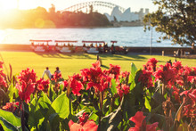 Bright Red Canna Lily Flowers With Sydney Landmarks On The Background