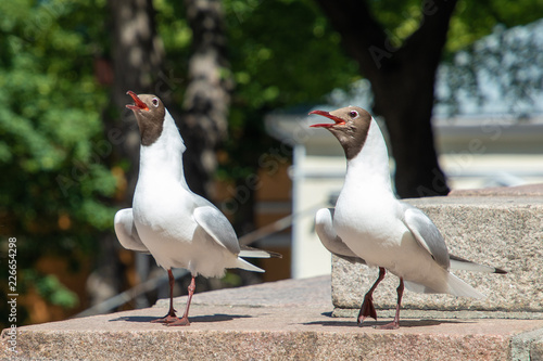 Fotografia, Obraz  A pair of black-headed gulls sing in summer in Turku, Finland.
