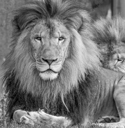 Fototapety, obrazy: Male Lion Portrait