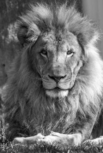 Portret lwa męskiego