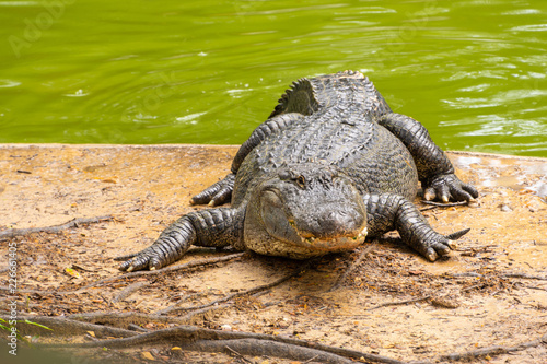 Fotografie, Obraz  Gator 1