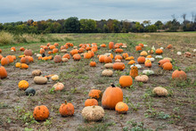 Field Of Pumpkins Ready For Fall Season Picking