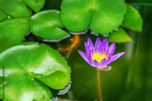 Staande foto Lotusbloem Lotus is many colors and beautiful in ponds, is a symbol of Buddhism.