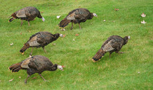 Close Up On Wild Turkeys On Th...