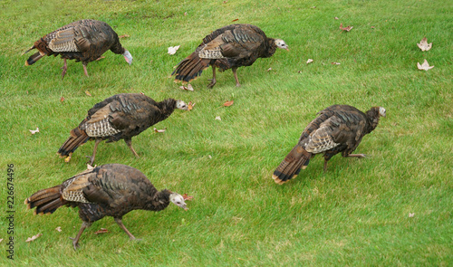 close up on wild turkeys on the meadow