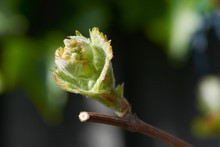 Young Grape Vine New Growth, A Bud On A Branch In Morning Spring Sun.