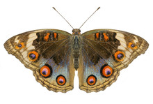 Buckeye Butterfly Isolated On ...