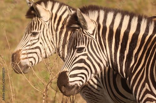 Tuinposter Zebra Zebra in the African bushveld