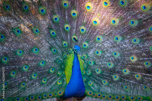 Foto op Plexiglas Pauw peacock with feathers out