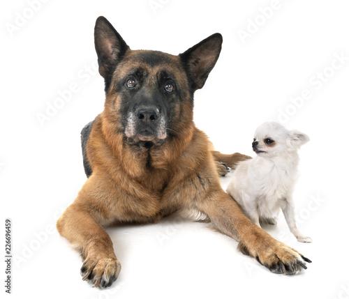 german shepherd and chihuahua © cynoclub