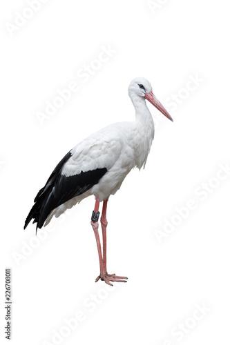 Weißstorch freigestellt (Ciconia ciconia)