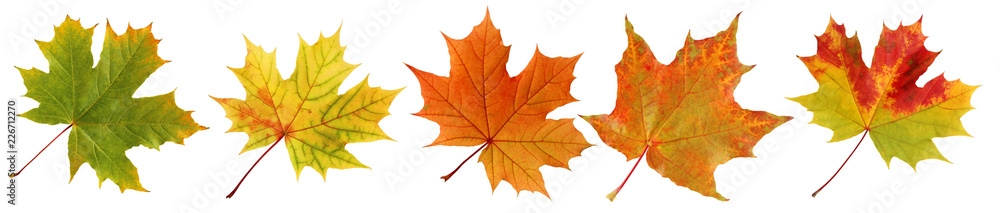 Fototapety, obrazy: Collection autumn maple leaves isolated on white background.