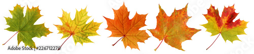 Collection autumn maple leaves isolated on white background.