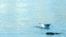 Seagull Eating Mussels