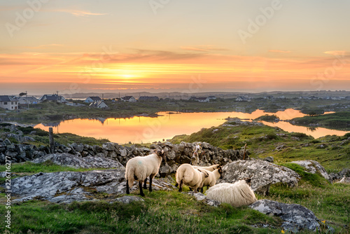 Ireland Sunset at a lake with sheep near Clifden, Roundstone and Connemara in Ireland