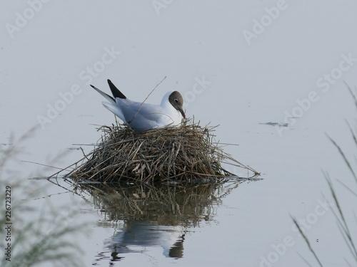 Gabbiano che cova nel nido di paglia Canvas Print
