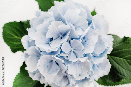 Closeup of blue hydrangea flower.