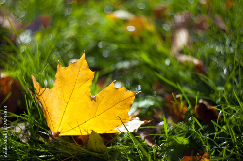 Fotografía  Yellow autumn maple leaf lying on the grass with a blurred background