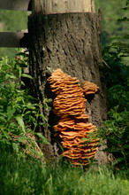 Bracket Fungus, Tree Stump In Splügen Swiss Alps