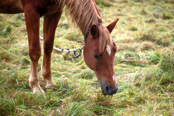 Grazing horse on the field