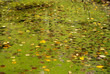 canvas print picture - surface of the swamp covered with duckweed and fallen yellow leaves