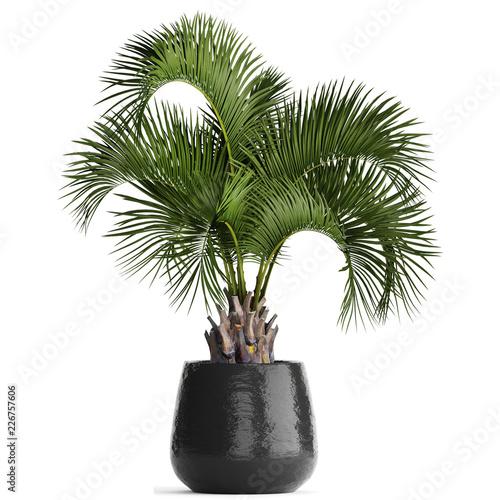 palm tree in a pot Fototapeta