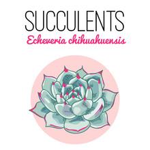 The Illustration Of Beautiful Succulent Echeveria Chihuahuensis. Vector Floral Design. Botanical Card.