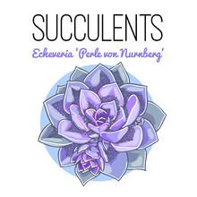 "The Illustration Of Beautiful Succulent Echeveria ""perle Von Nurnberg"". Vector Floral Design. Botanical Card."