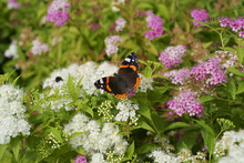 Butterfly Red Admiral  / Vanes...