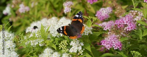 Obraz Butterfly Red admiral  / Vanessa atalanta / on Spiraea japonica Genpei - fototapety do salonu