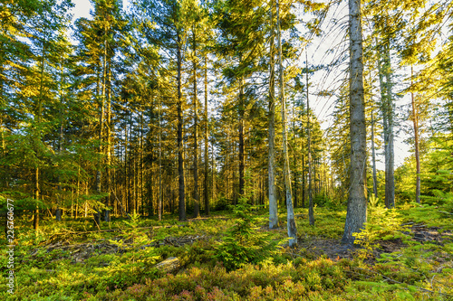 Sunburst at sunrise in Veluwe forest with pine trees and sun rays against tree trunks and over forest ground with ground cover red and yellow coloring by big drought