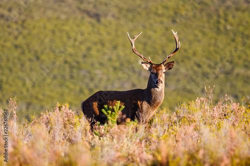 Fotografie, Obraz  Macho de ciervo mirando de frente. Cervus elaphus. Venado.