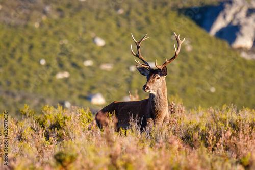 Fotografie, Obraz  Macho de ciervo. Cervus elaphus. Venado.