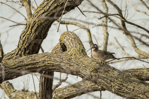 Wood Duck female in tree taken in southern MN in the wild Canvas Print