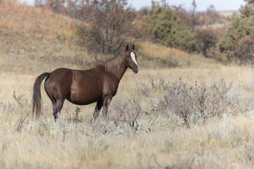 Fototapeta Wild Mustang at Theodore Roosevelt National Park in North Dakota, USA