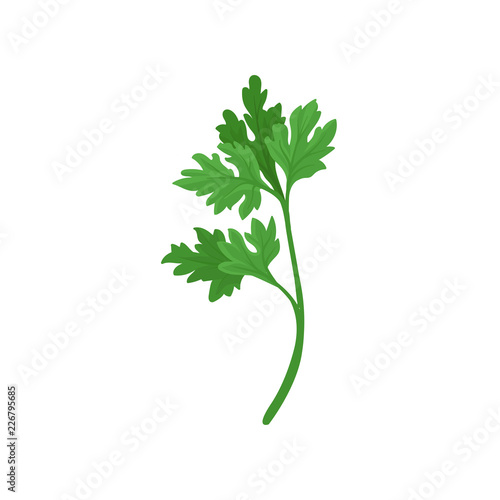 Obraz na plátně Sprig of parsley with bright green aromatic leaves