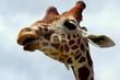 Podejrzliwa głowa żyrafy na tle zachmurzonego nieba