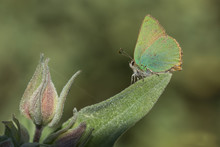 Green Hairstreak Butterfly On Leaf