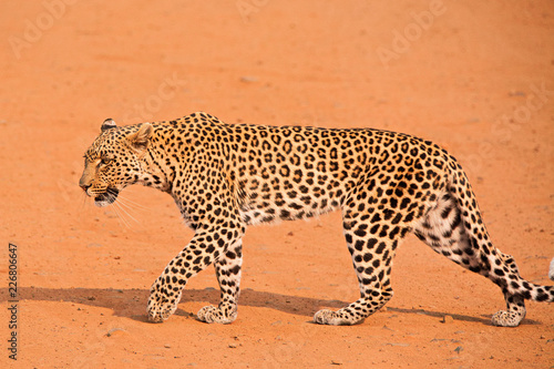 Tuinposter Luipaard Young leopard crossing the road while stalking an impala herd