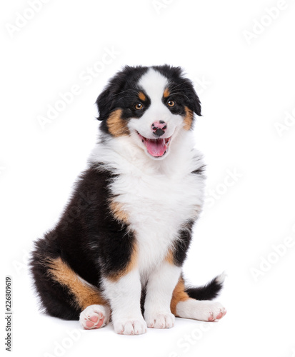 Beautiful happy Australian shepherd puppy dog is sitting frontal and looking at Wallpaper Mural