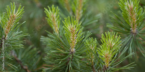 beautiful fluffy pine branches with young shoots