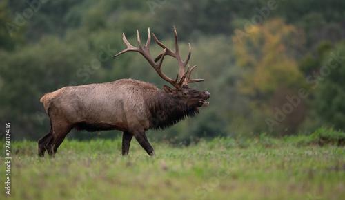 Poster Cerf Bull Elk